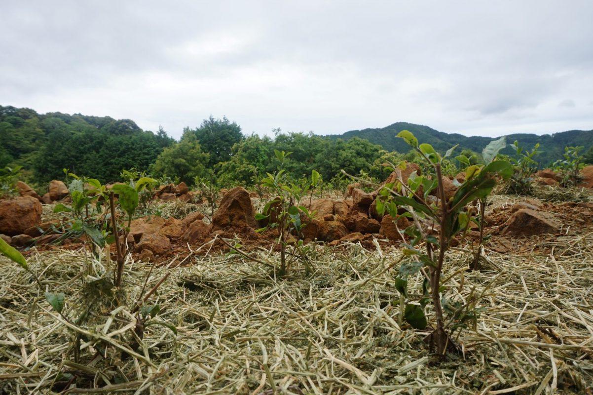 nieuw aangelegd biologisch theeveld