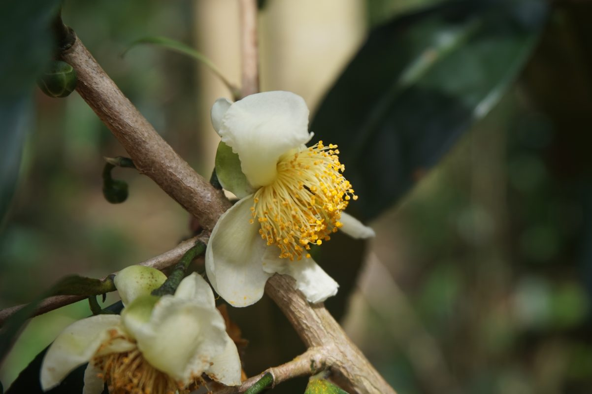 Royal flower tea theebloem